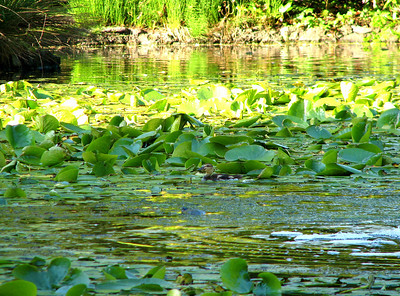 Duckling among the lily pads