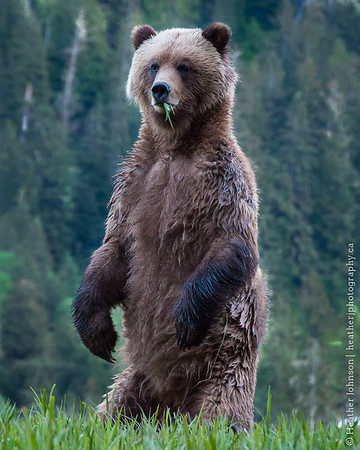 Female Grizzly Bear Standing