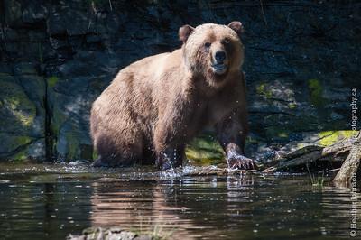 Grizzly Splash