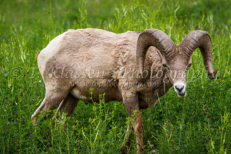 A mountain bighorn sheep near Golden, British Columbia, Canada.