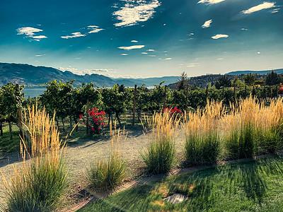 Okanagan Vineyeard