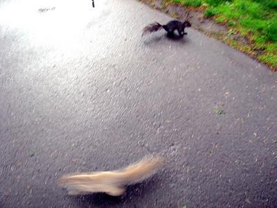 Squirrels running around in circles