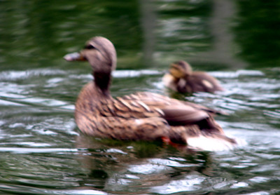 Cute ducks swimming (I'm not good at holding the camera steady on a zoom)
