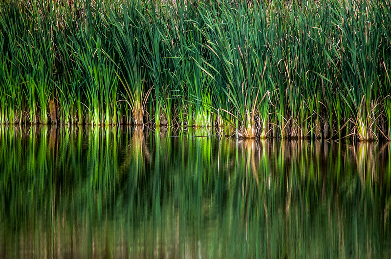 Reeds in the Water