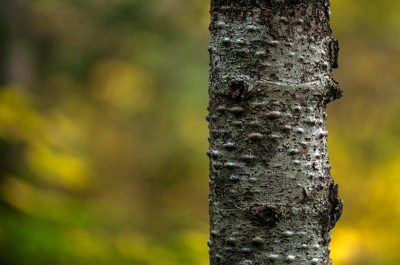 Birch tree in the fall