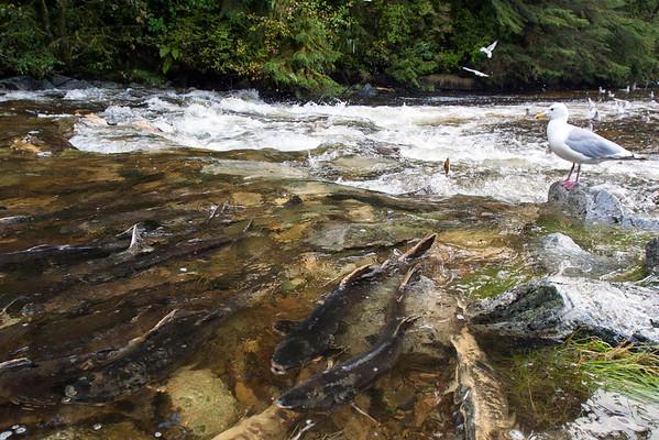 Salmon hatchery in Klemtu