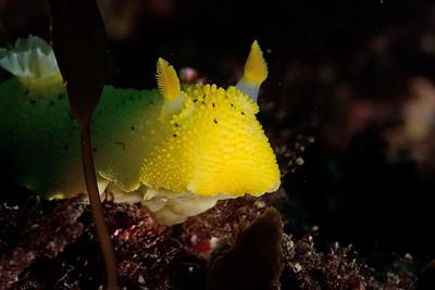 Lemon Peel Nudibranch (Tochuina gigantea)