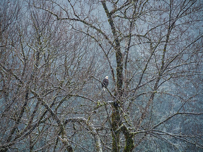A bald eagle keeps watch, eagerly awaiting a possible steelhead dinner along the Cheakamus River