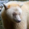 White spirit bear fishing, Great Bear Rainforest