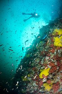 Diver and Juvenile Rockfish