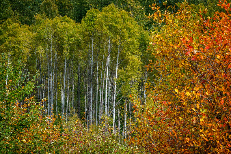 Aspens in the Forest 2