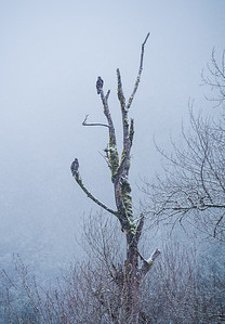 Bald Eagles in a snowstorm in Squamish, BC
