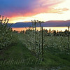 Cherry Orchard at Sunset