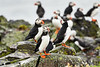 Puffin_Food_Isle of May_Scotland_2019_British_Isles_0011