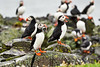 Puffin_Food_Isle of May_Scotland_2019_British_Isles_0008