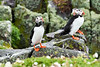 Puffin_Food_Isle of May_Scotland_2019_British_Isles_0022