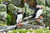 Puffin_Food_Isle of May_Scotland_2019_British_Isles_0020