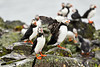 Puffin_Food_Isle of May_Scotland_2019_British_Isles_0009