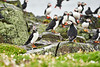 Puffin_Food_Isle of May_Scotland_2019_British_Isles_0002