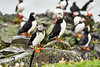 Puffin_Food_Isle of May_Scotland_2019_British_Isles_0007