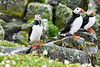 Puffin_Food_Isle of May_Scotland_2019_British_Isles_0023