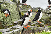 Puffin_Food_Isle of May_Scotland_2019_British_Isles_0015