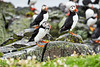 Puffin_Food_Isle of May_Scotland_2019_British_Isles_0006
