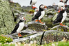 Puffin_Food_Isle of May_Scotland_2019_British_Isles_0003