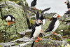 Puffin_Food_Isle of May_Scotland_2019_British_Isles_0016