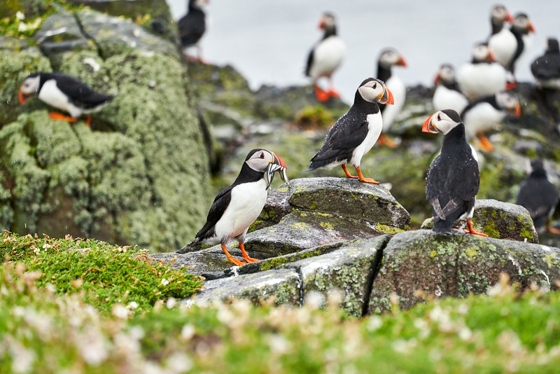 Puffin_Food_Isle of May_Scotland_2019_British_Isles_0001