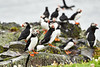 Puffin_Food_Isle of May_Scotland_2019_British_Isles_0013