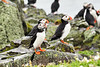 Puffin_Food_Isle of May_Scotland_2019_British_Isles_0019