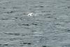 Gannets_Diving_Bass_Rock_Scotland_2019_0009