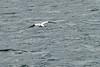 Gannets_Diving_Bass_Rock_Scotland_2019_0005