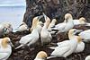 Gannets_On_Bass_Rock_Scotland_2019_0014