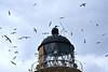 Gannets_On_Bass_Rock_Scotland_2019_0008