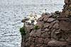 Gannets_On_Bass_Rock_Scotland_2019_0001