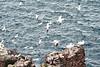 Gannets_On_Bass_Rock_Scotland_2019_0009