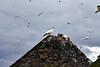Gannets_On_Bass_Rock_Scotland_2019_0020