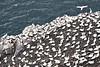 Gannets_On_Bass_Rock_Scotland_2019_0007