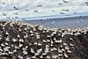 Gannets_On_Bass_Rock_Scotland_2019_0016