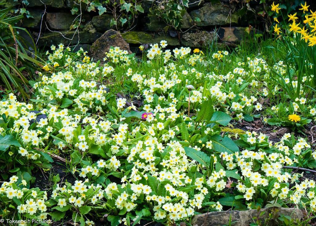Spring flowers Saltaire Yorkshire LR-0650