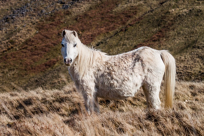 Wild welsh ponies of the Brecon Beacons-7.jpg