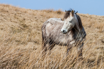 Wild welsh ponies of the Brecon Beacons-14.jpg