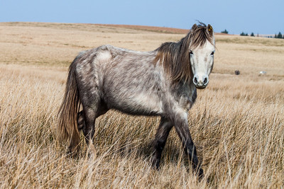 Wild welsh ponies of the Brecon Beacons-16.jpg