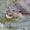 Otter 9, Thetford Breckland, March 2013.