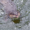 Otter 8, Thetford Breckland, March 2013.