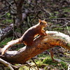 Red Squirrel 3, 14th June 2018, Squirrel Wood, Formby Dunes, Lancashire