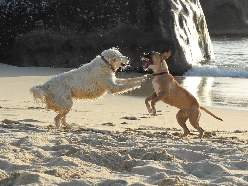 """Guavaberry dogs, Pearl .. and new puppy, Roxie, playing on beach in late afternoon light.  P7000 out of housing... set in """"Sport"""" mode. Fast fast speed."""