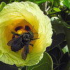 BIG BEE..... dusted with pollen and high on nector